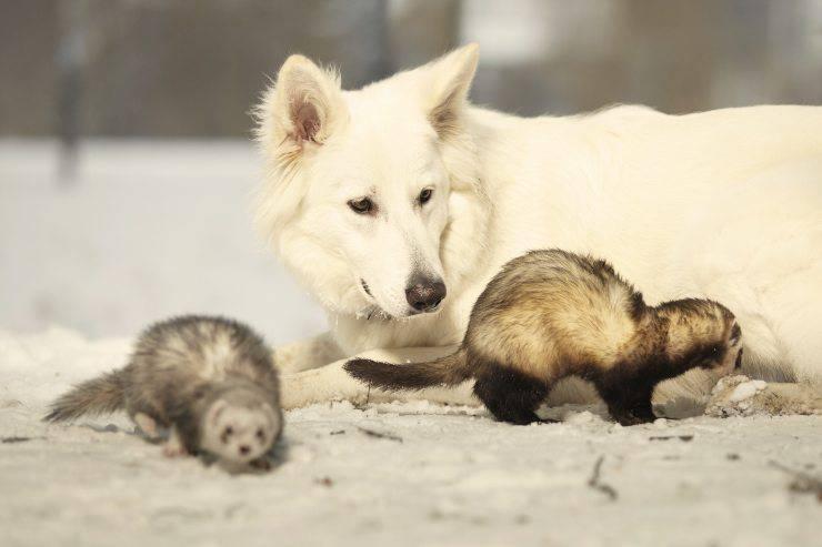 furetti e cane