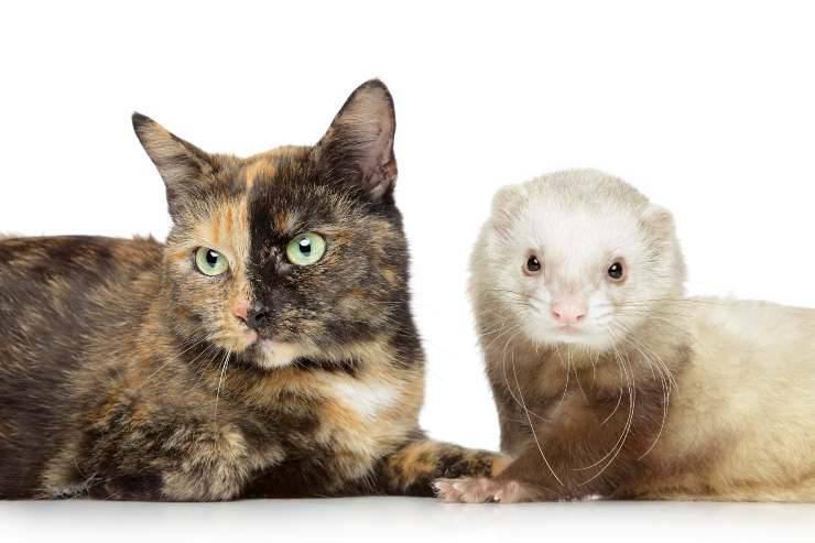 furetto gatto coronavirus