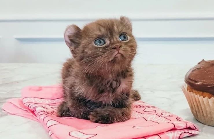 gatto zampe storte e orecchie da orso
