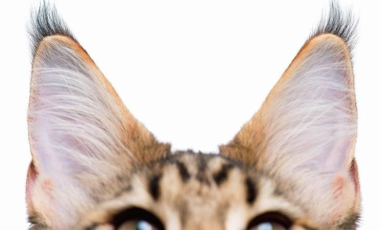 orecchie gatti