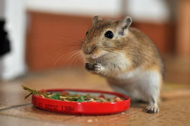 cosa mangia il gerbillo?