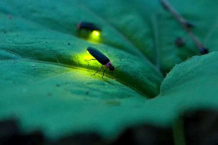 lucciole insetti foglie