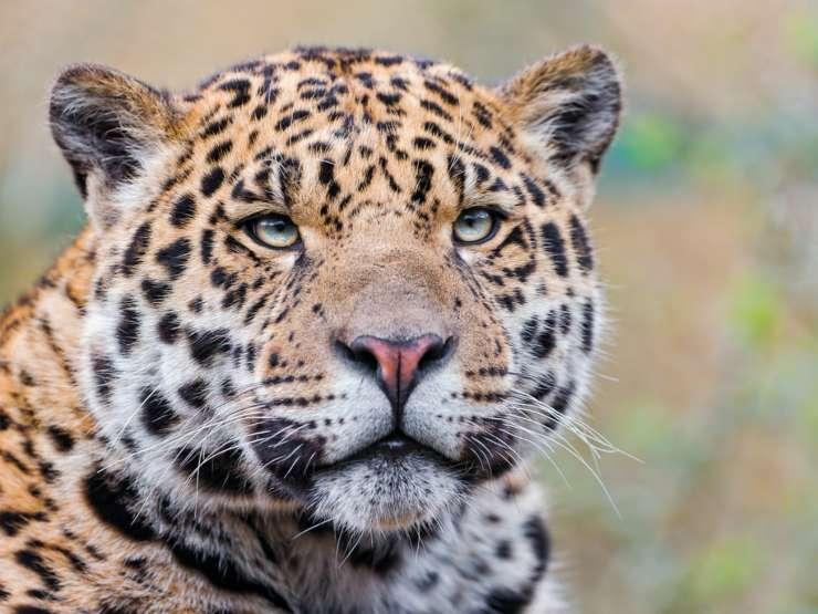 Giaguaro animali più pericolosi dell'amazzonia