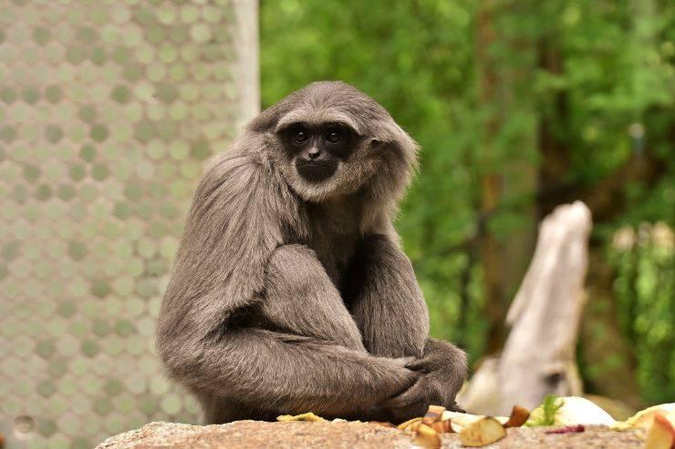 gibbone