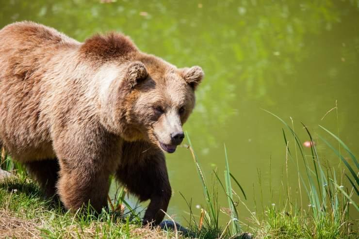 orso prato orsa