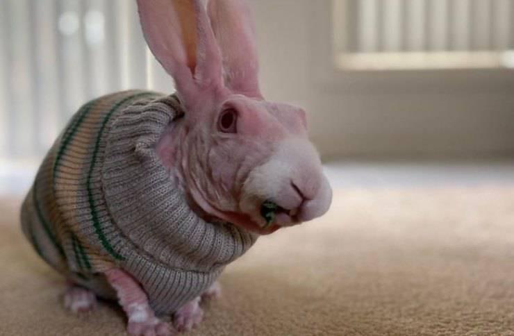 coniglio senza pelo