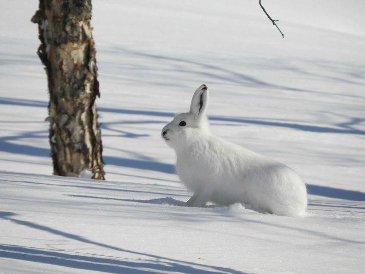 Lepre sulla neve