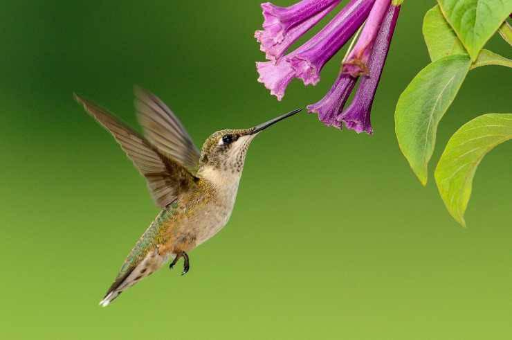 Il colibrì in volo (Foto Pixabay)