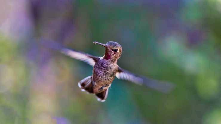 Il veloce battito di ali del colibrì (Foto Pixabay)
