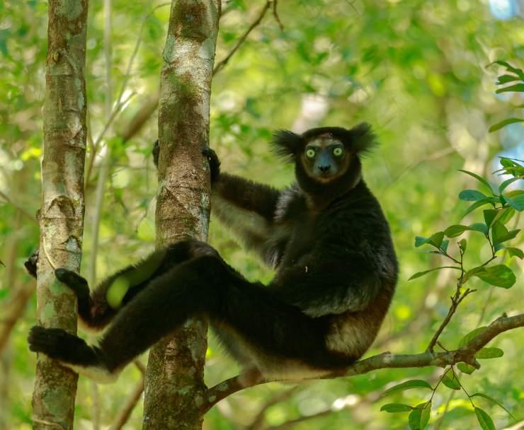 indri lemure madagascar