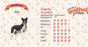 Canaan Dog scheda razza