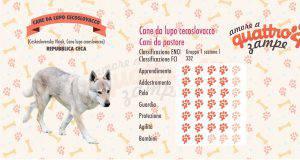 Cane da Lupo Cecoslovacco scheda razza