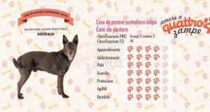 cane Cane da pastore australiano kelpie scheda razza