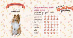cane da pastore scozzese shetland scheda razza