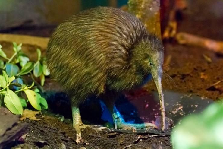 kiwi uccello non vola