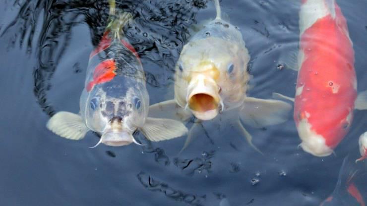 Pesce Koi