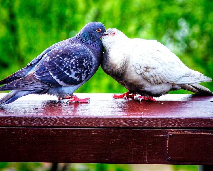 Curiosità sulla colomba
