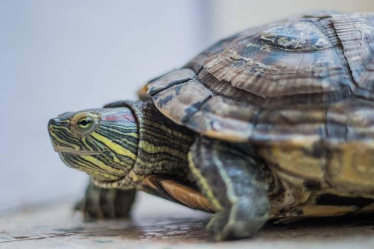 le tartarughe hanno le orecchie