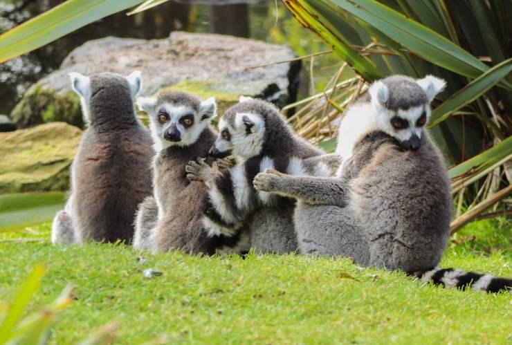 curiosità sui lemuri lemure