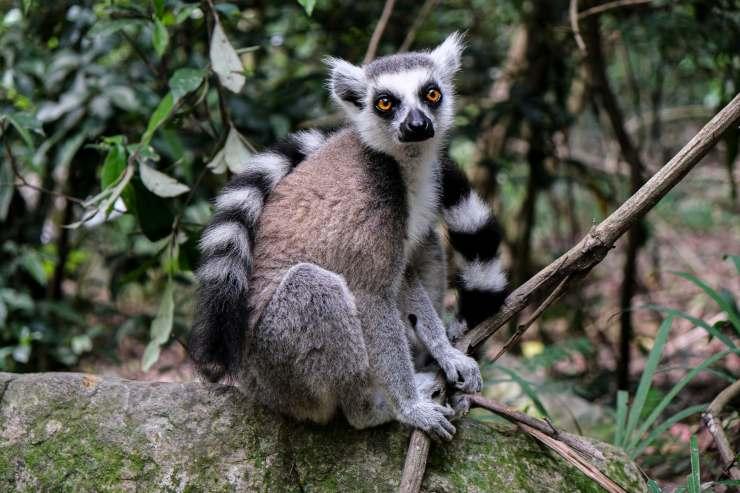 lemure animali dell'africa