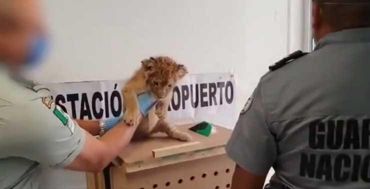 leone scatola aeroporto Messico