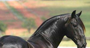 razze cavalli montonino