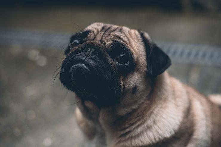 cane sguardo colpevole