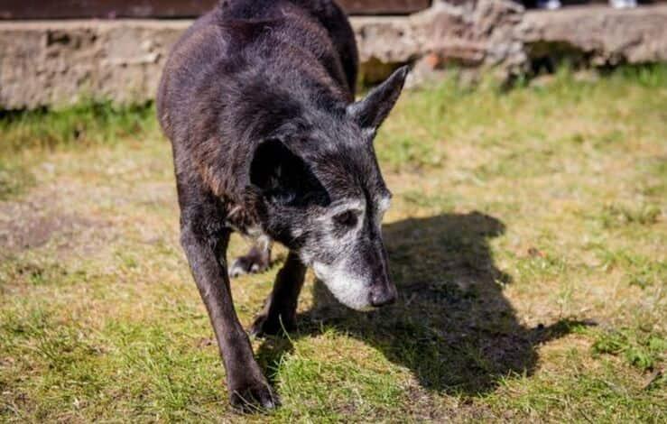 Maximus il cane anziano