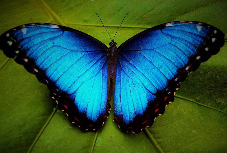 morfo blu farfalla