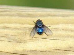 Perche le mosche volano sotto il lampadario
