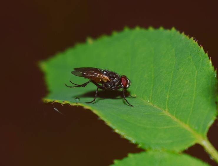 mosca cavallina mosche