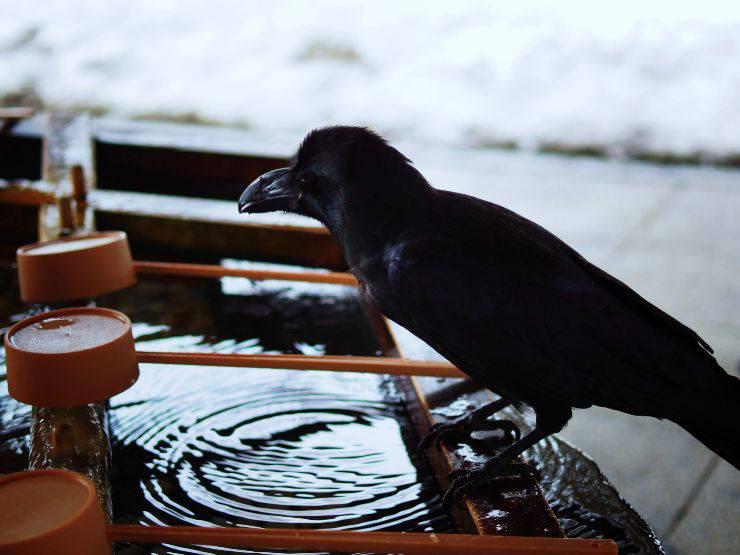 corvi acqua uccello