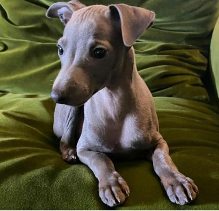 Odino cane Hunziker