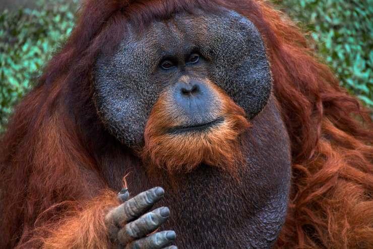 orango sumatra curiosità sugli oranghi