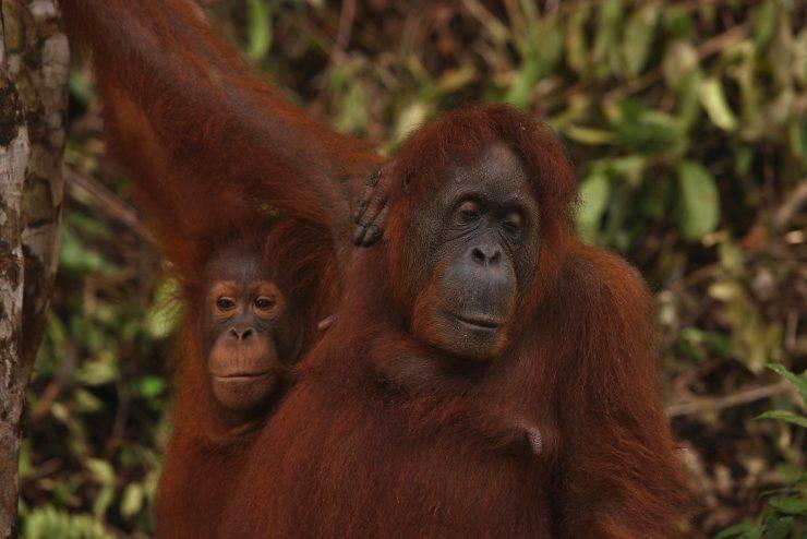 orango del borneo curiosità sugli oranghi