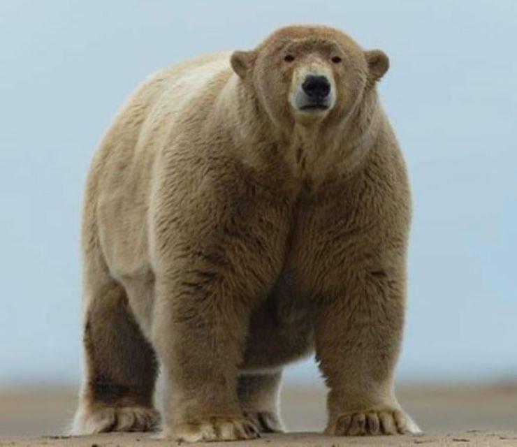 l'orso Fat Albert
