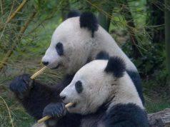 panda dopo 10 anni si accoppiano