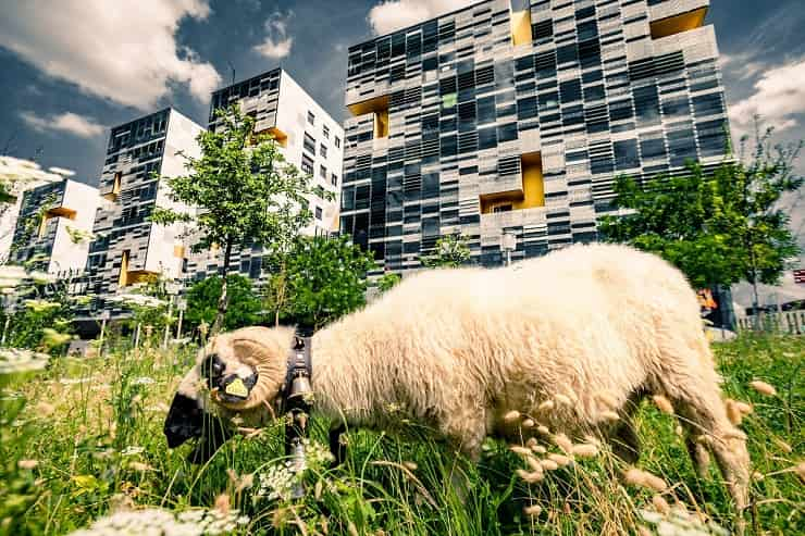 pecore in città