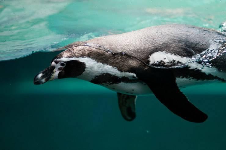 Il pinguino non vola