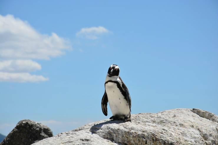 Il pinguino coraggioso (Foto Pixabay)