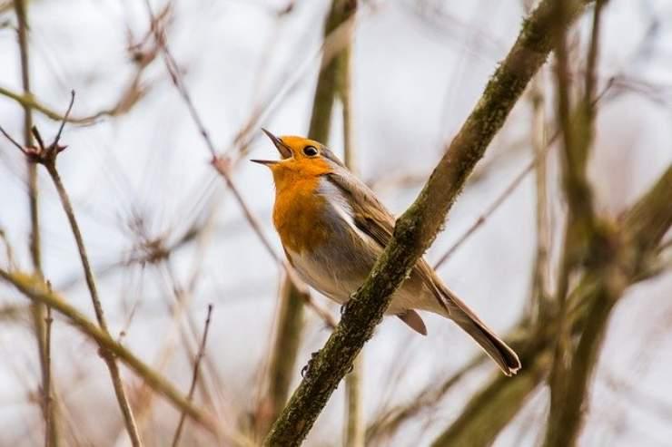 perche gli uccelli cantano all alba