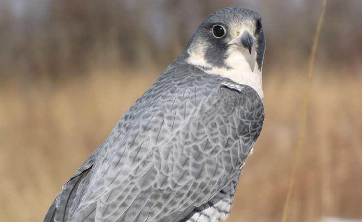 Caratteristiche del falco pellegrino (Foto Pixabay)