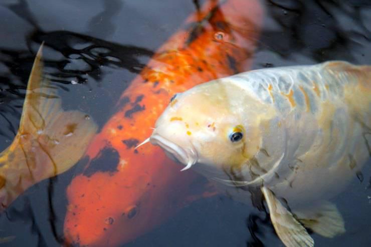 Pesce non mangia