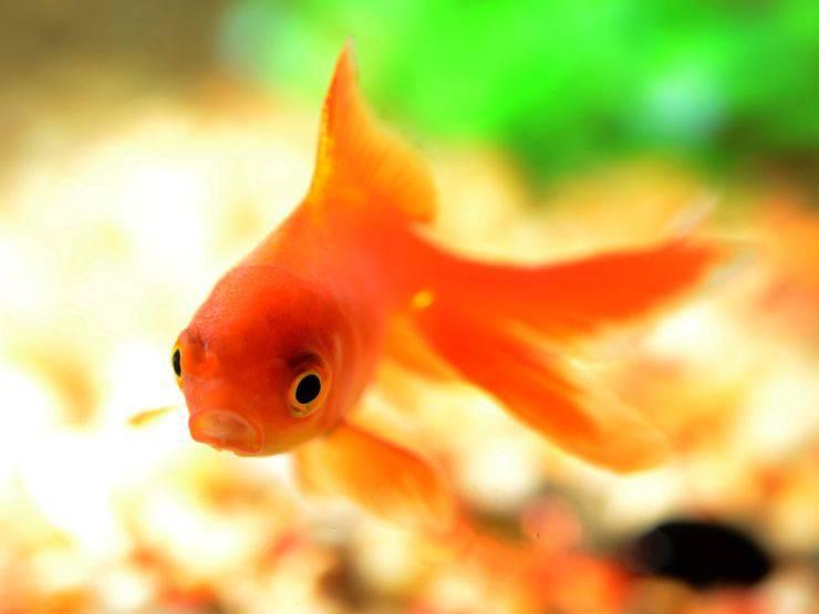 Pesci rossi