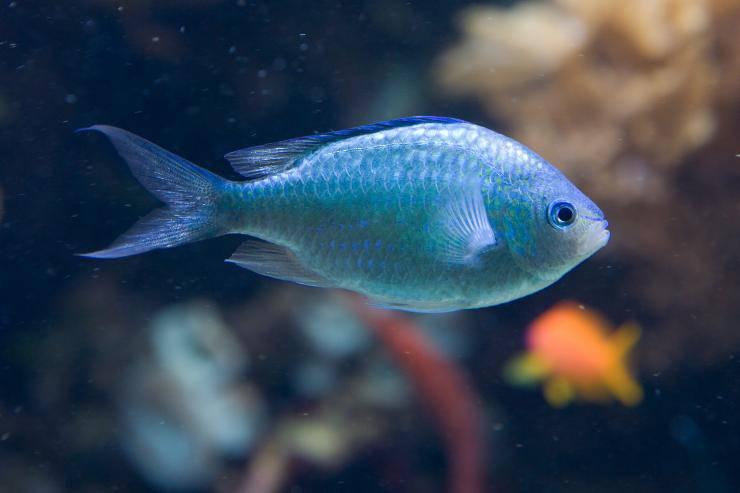 pesce castagnola