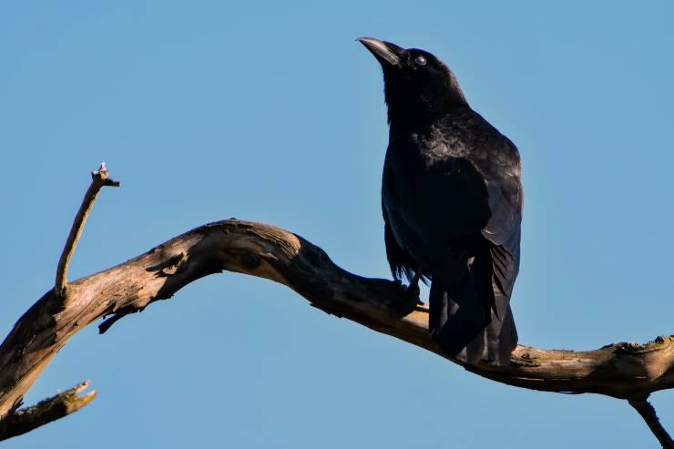 corvi uccelli neri
