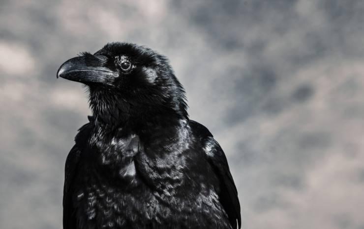 curiosità corvo