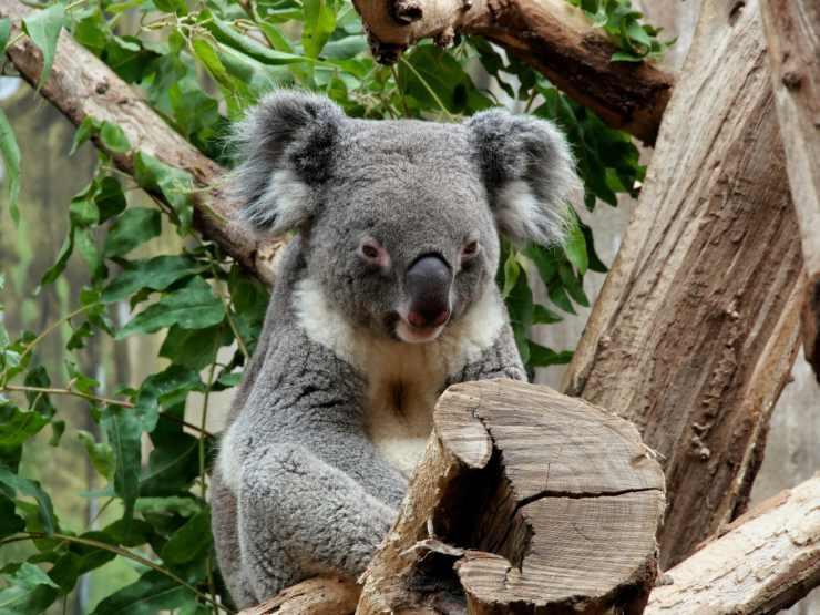 impronte digitali dei koala