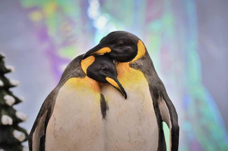 pinguini si fidanzano