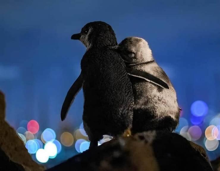 Foto pinguini abbracciati